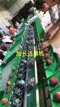 蒲江金堂不知火,丑柑,丑橘,青见高速分选不伤果的机器。