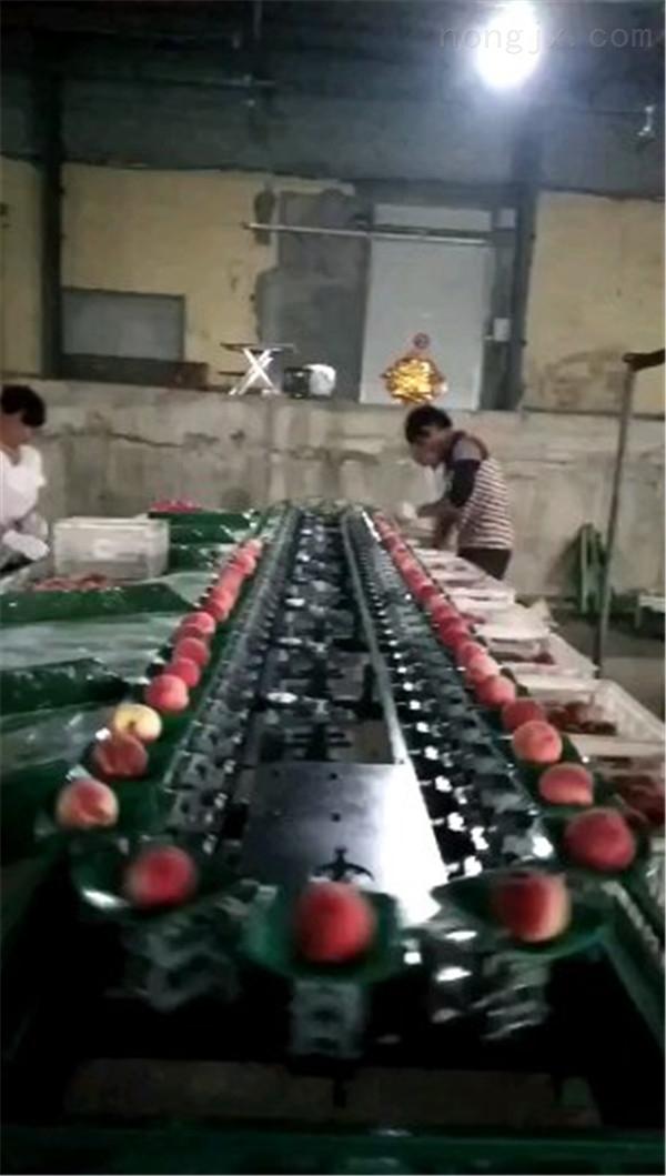 凱祥蘋果分選機,分選蘋果大小的機器,山東蘋果自動分選機廠家都有哪些