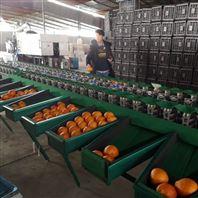 信丰脐橙自动选果机 柑桔橙子重量分选机