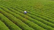 启飞智能与中国茶科所在茶叶精准施药上展开深入合作