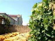 江苏:改进玉米播种机破解播种难题